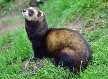European Polecat (arriving soon)
